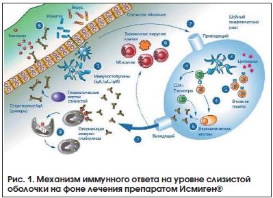 Рис. 1. Механизм иммунного ответа на уровне слизистой оболочки на фоне лечения препаратом Исмиген®