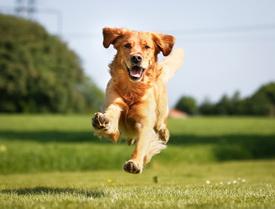Собака в доме защищает ребенка от астмы