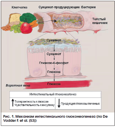 Рис. 1. Механизм интестинального глюконеогенеза (по De Vadder F. et al. [53])