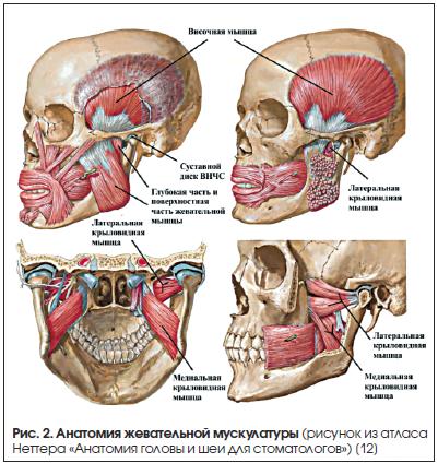 Рис. 2. Анатомия жевательной мускулатуры