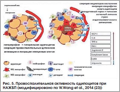 Рис. 5. Провоспалительная активность адипоцитов при НАЖБП (модифицировано по W.Wang et al., 2014 [23])