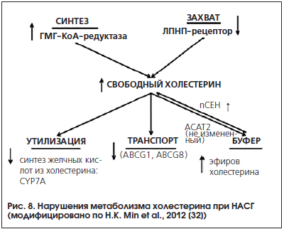 Рис. 8. Нарушения метаболизма холестерина при НАСГ (модифицировано по H.K. Min et al., 2012 [32])