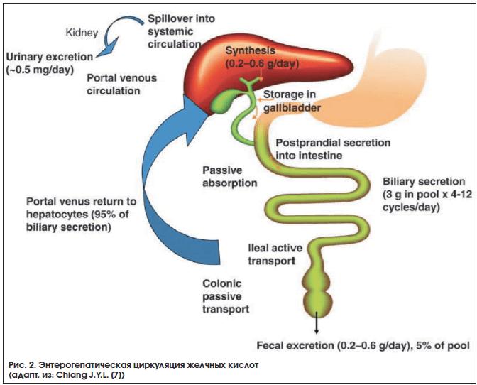 Рис. 2. Энтерогепатическая циркуляция желчных кислот (адапт. из: Chiang J.Y.L. [7])