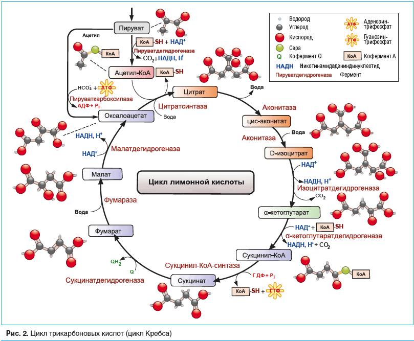 Рис. 2. Цикл трикарбоновых кислот (цикл Кребса)