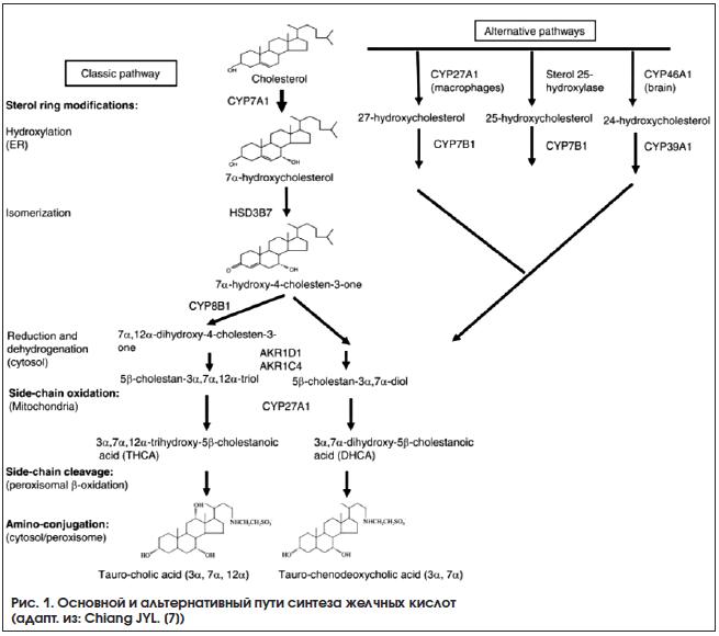Рис. 1. Основной и альтернативный пути синтеза желчных кислот (адапт. из: Chiang JYL. [7])