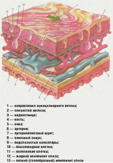 Рис. Строение слизистой оболочки полости носа