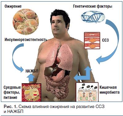 Рис. 1. Схема влияния ожирения на развитие ССЗ и НАЖБП