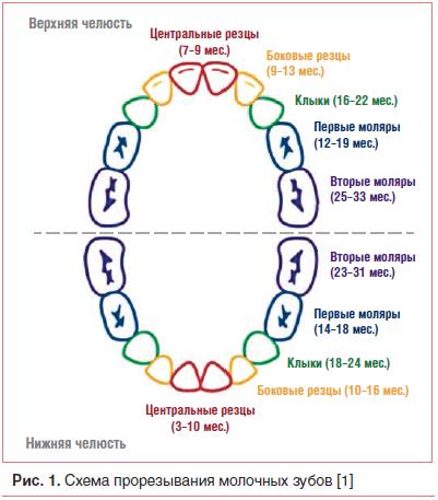 Рис. 1. Схема прорезывания молочных зубов [1]