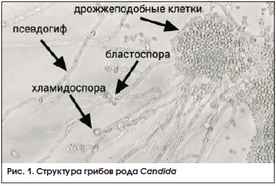 Рис. 1. Структура грибов рода Candida