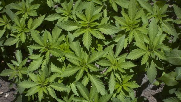 Исследователи заявляют об исключительном вреде марихуаны