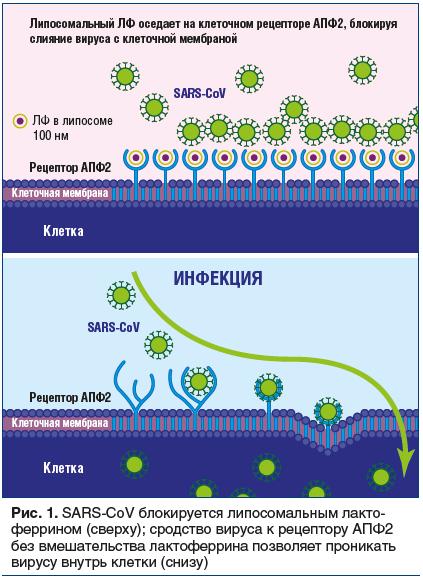 Рис. 1. SARS-CoV блокируется липосомальным лакто- феррином (сверху); сродство вируса к рецептору АПФ2 без вмешательства лактоферрина позволяет проникать вирусу внутрь клетки (снизу)