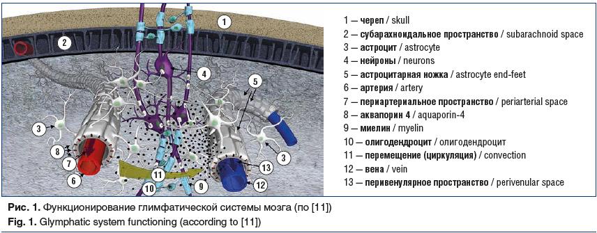 Рис. 1. Функционирование глимфатической системы мозга (по [11]) Fig. 1. Glymphatic system functioning (according to [11])