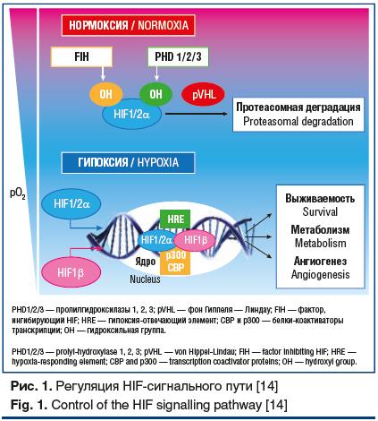 Рис. 1. Регуляция HIF-сигнального пути [14] Fig. 1. Control of the HIF signalling pathway [14]