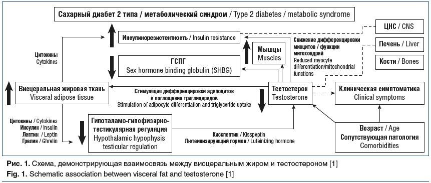 Рис. 1. Схема, демонстрирующая взаимосвязь между висцеральным жиром и тестостероном [1] Fig. 1. Schematic association between visceral fat and testosterone [1]