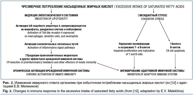Рис. 2. Изменение иммунного ответа организма при избыточном потреблении насыщенных жирных кислот (из [12] с адап- тацией Е.В. Мелехиной) Fig. 2. Changes in immune response in the excessive intake of saturated fatty acids (from [12], adaptation by E.V. Mel