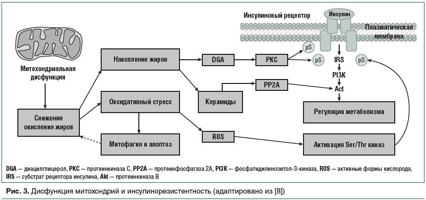 Рис. 3. Дисфункция митохондрий и инсулинорезистентность (адаптировано из [8])