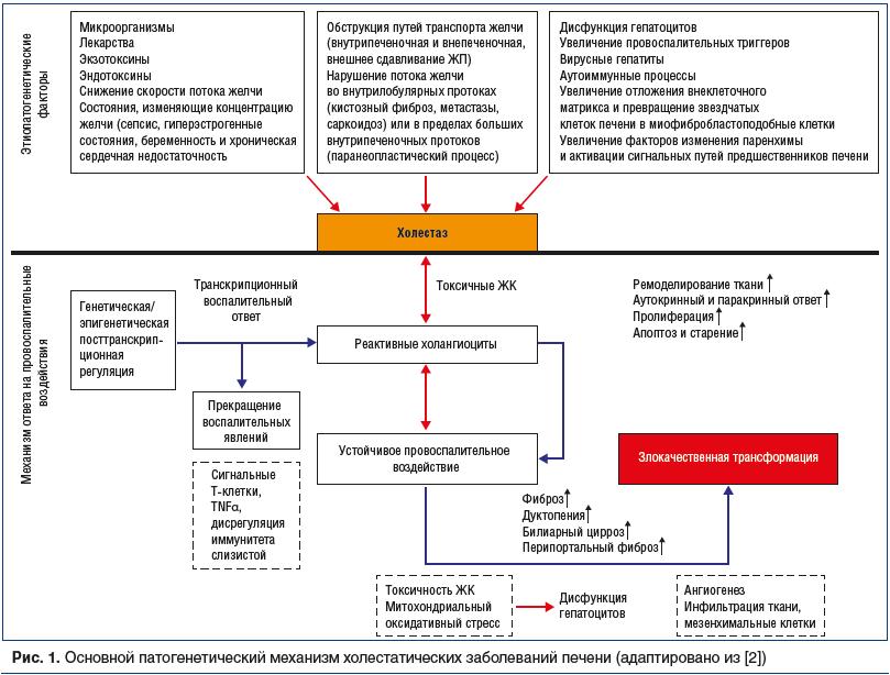 Рис. 1. Основной патогенетический механизм холестатических заболеваний печени (адаптировано из [2])