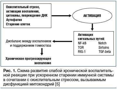 Рис. 1. Схема развития слабой хронической воспалительной реакции при ускоренном старении иммунной системы в сочетании с окислительным стрессом, вызываемым дисфункцией митохондрий [5]