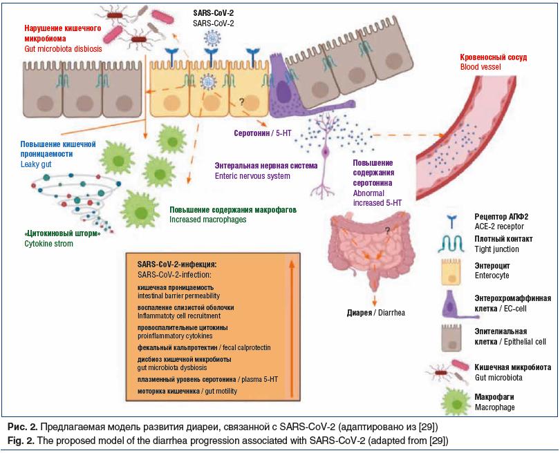 Рис. 2. Предлагаемая модель развития диареи, связанной с SARS-CoV-2 (адаптировано из [29]) Fig. 2. The proposed model of the diarrhea progression associated with SARS-CoV-2 (adapted from [29])