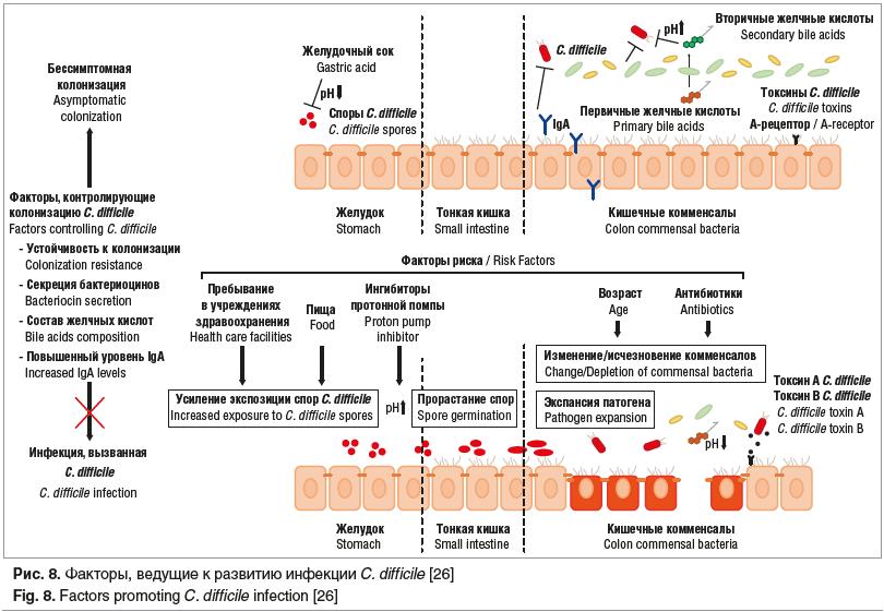 Рис. 8. Факторы, ведущие к развитию инфекции C. difficile [26] Fig. 8. Factors promoting C. difficile infection [26]